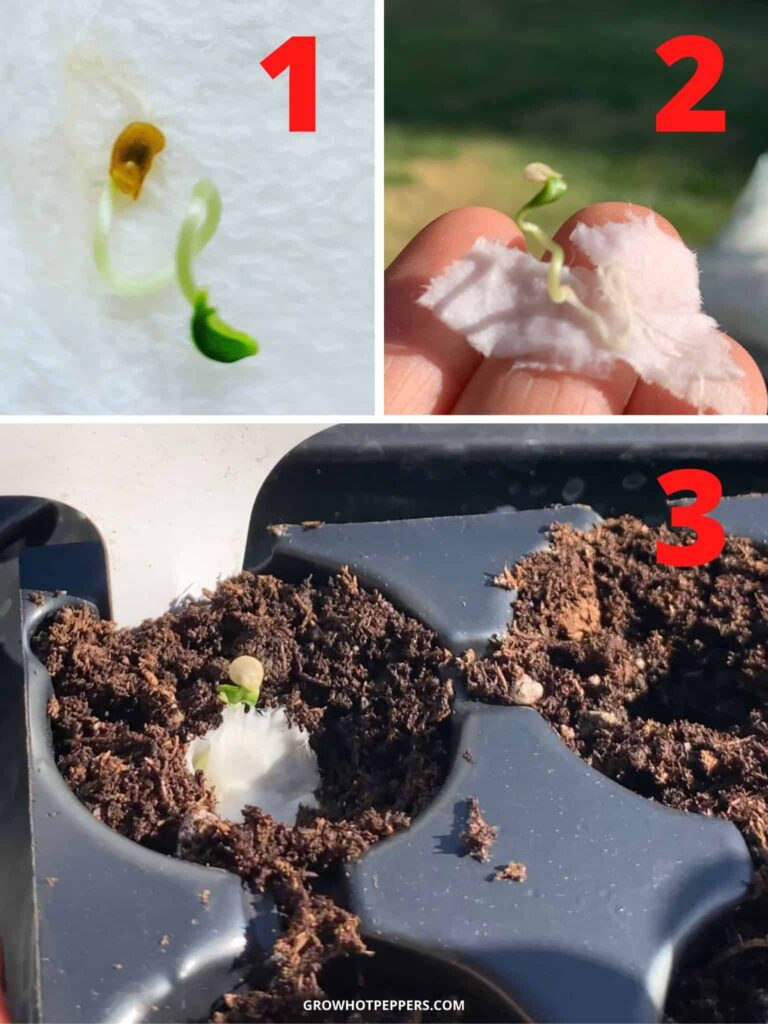 transferring sprouted seeds to soil