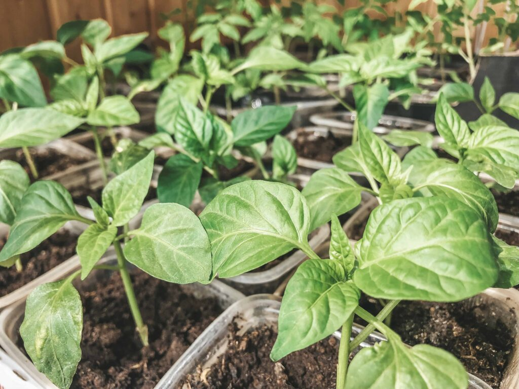 how to harden off pepper plants