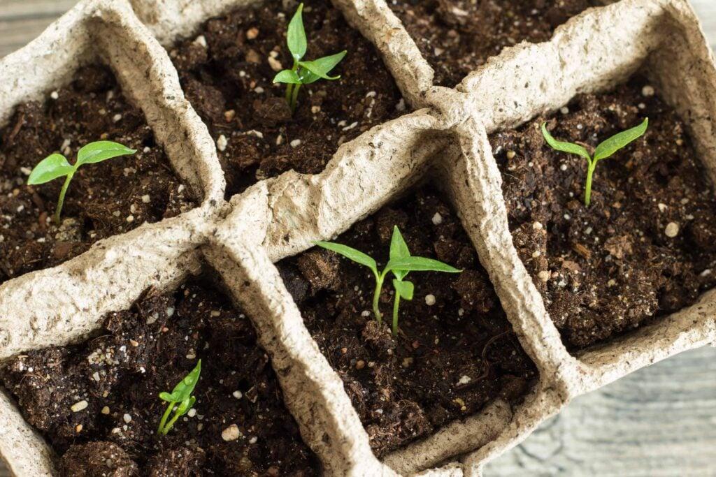 pepper seedlings after germination