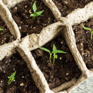 What to Do after Seeds Sprout & How to Care for Your Pepper Seedlings