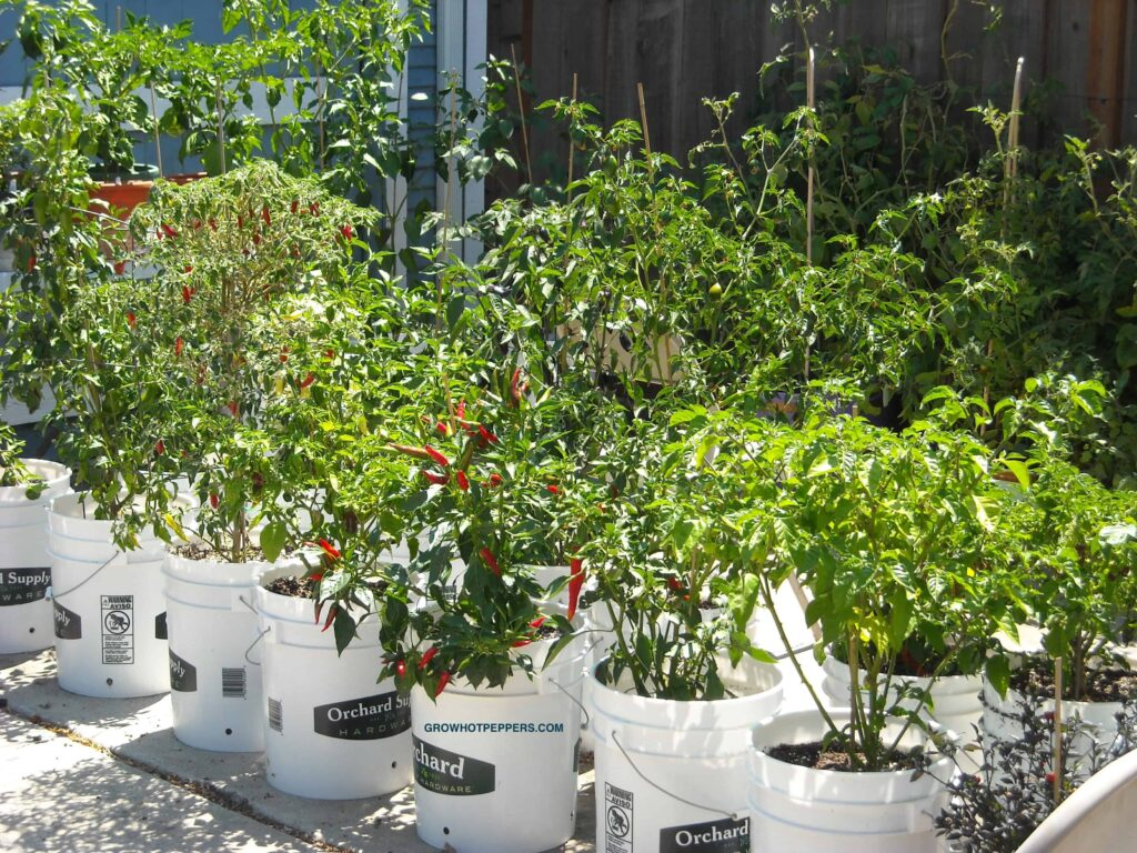 potted pepper plants getting 8 hours of sun