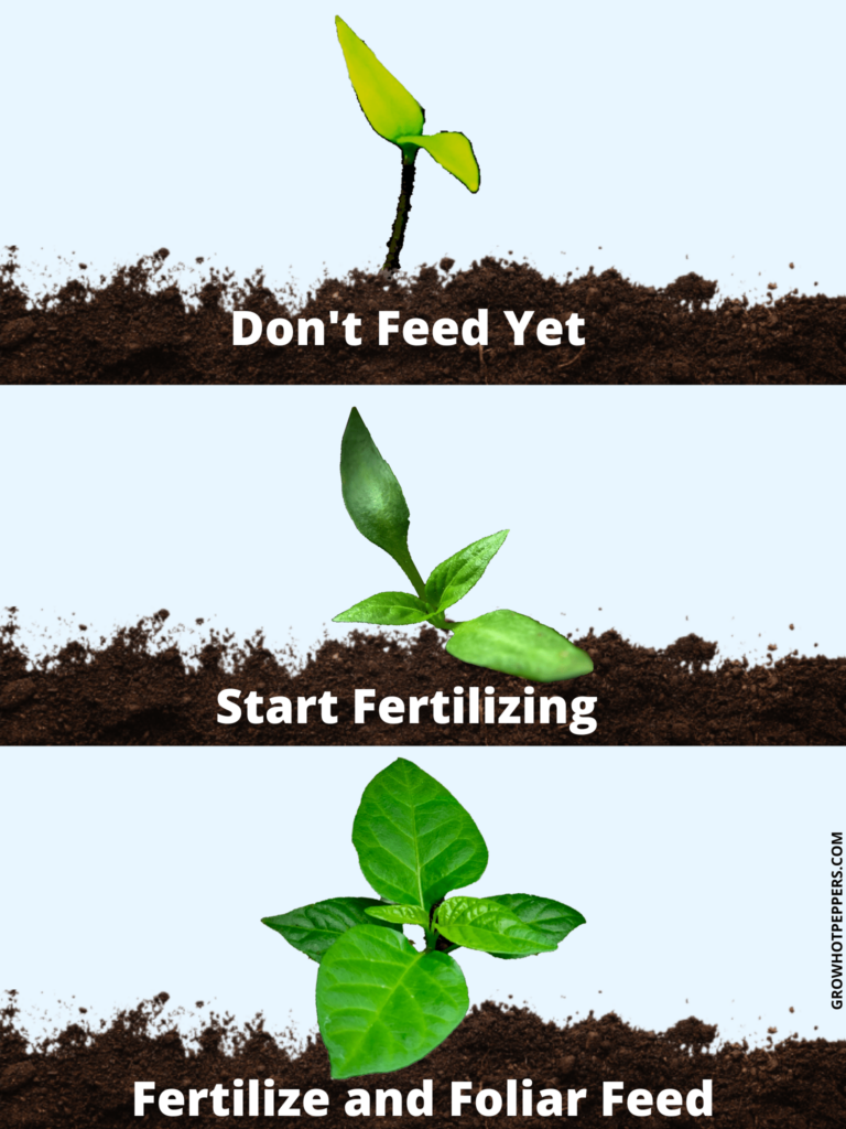 should seedlings be fed infographic