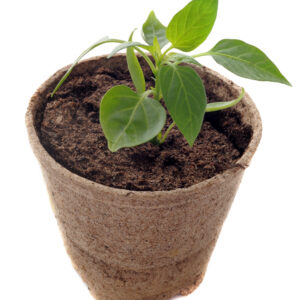 Transplanting Pepper Plants: When and How to Move Chillies to Bigger Pots