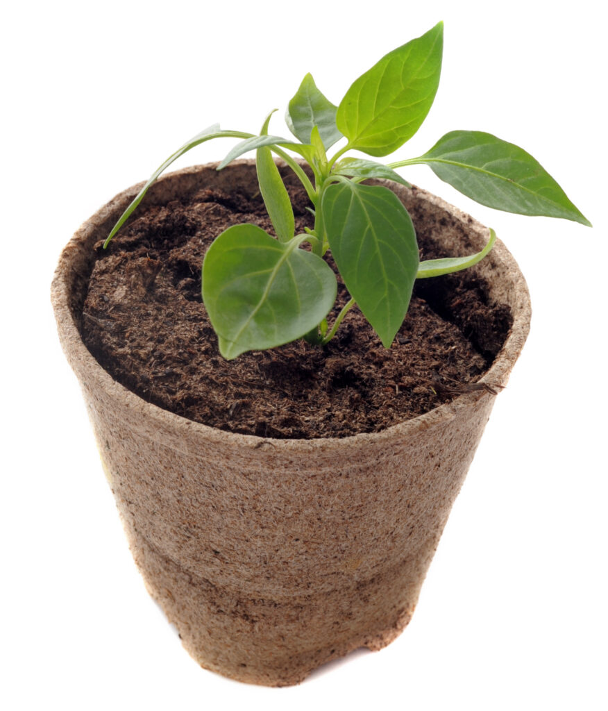 transplanting pepper plants to bigger pots