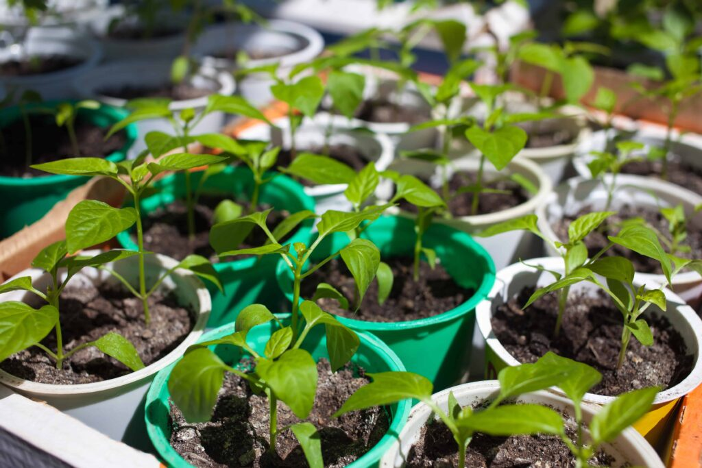 how big should pepper plants be before transplanting outside
