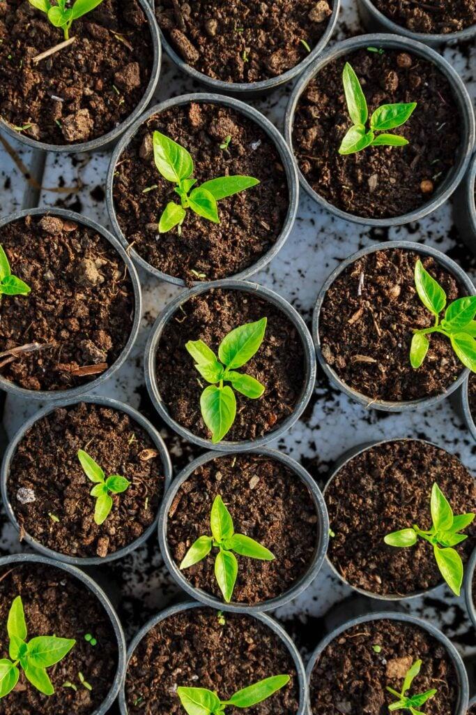 when should you pinch pepper plants