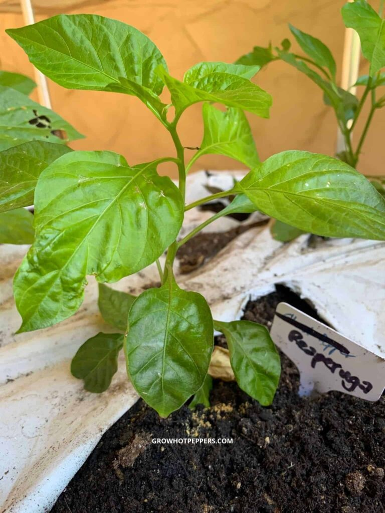when to stop pinching pepper flowers reaperuga plant