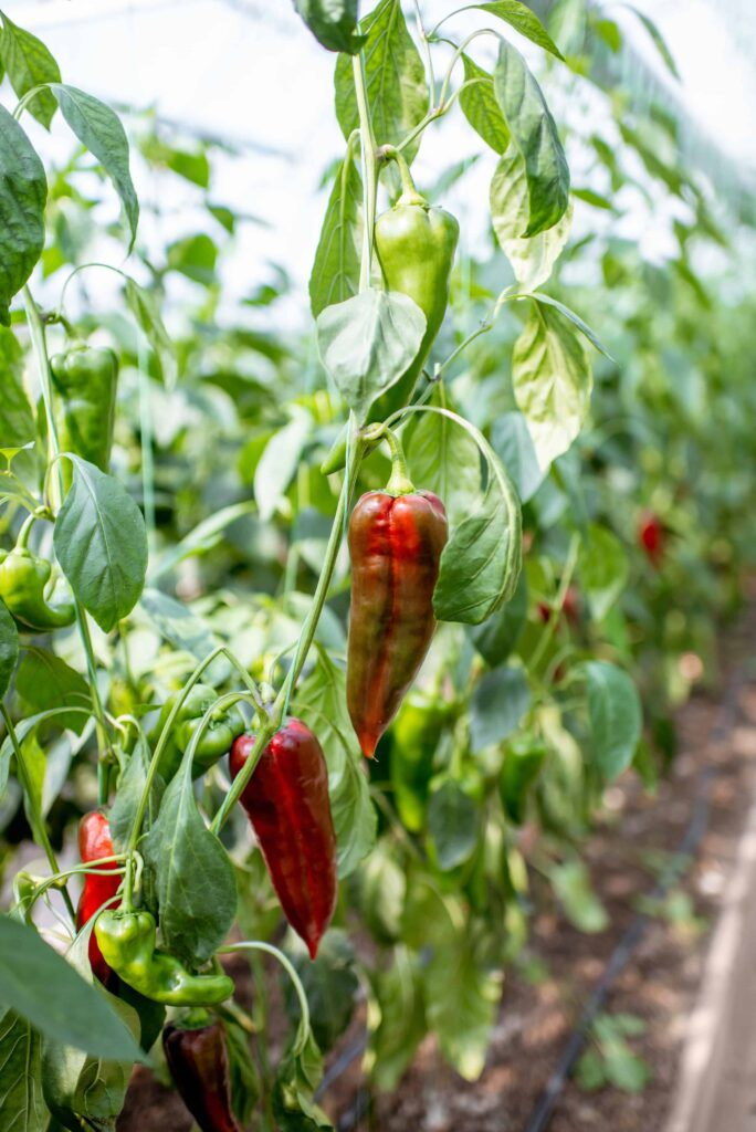 how do I know when my chili peppers are ready to pick